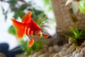 foto of sucking  - goldfish sucks a rocks in the aquarium - JPG