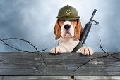foto of observed  - The sentry dog in a helmet very attentively observes - JPG
