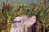 stock photo of cattail  - old stump lives next to the river behind the fence of cattails and red berries of Solanum - JPG