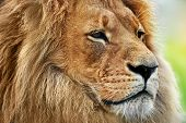 stock photo of endangered species  - Lion portrait on savanna - JPG