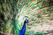 image of indian peafowl  - Splendid peacock with feathers out  - JPG