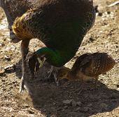 picture of female peacock  - A female peacock with young chick digging in the dirt looking for food - JPG