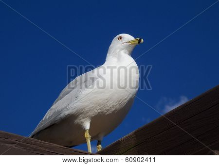 SeaGull Bird perched on a roof