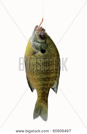 River sunfish on hook isolated on white