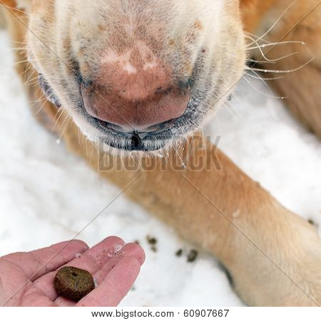 Muzzle Of A Dog Of Eating Dogfood From A Palm