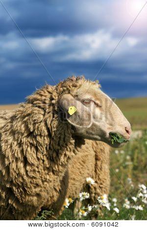 Munching Sheep