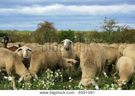 Munching Sheep