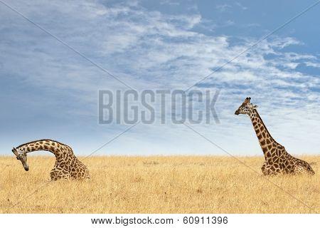 Masai Giraffes