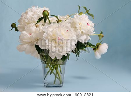 bunch of white peony in glass vase on blue background