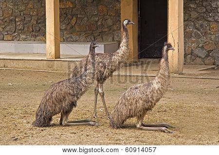 Three Emu