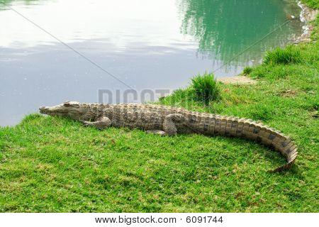 Aligator On Grass