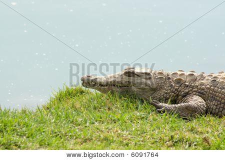 Aligator Waiting