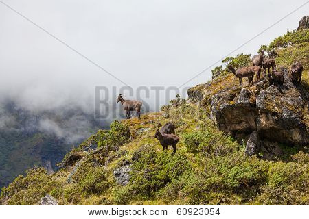 Wild Goats In Himalaya Mountains
