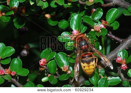 Hornet On Shrub