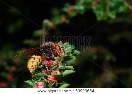 Single Hornet