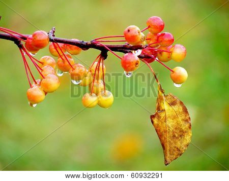 Autumn berry