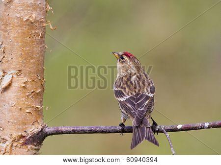Redpoll (carduelis Flammea)