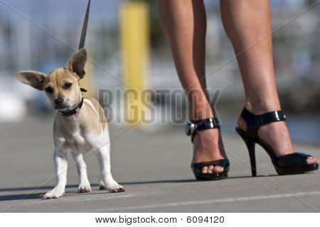 Chihuahua Puppy With Owner