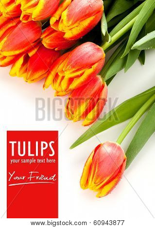 Beauty red tulips and isolated text