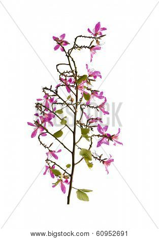 Red redbud on white background