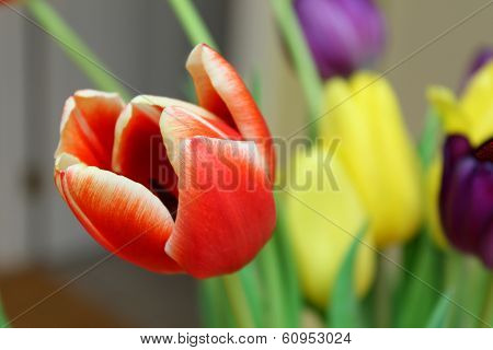 Red Tulip Blossom With Yellow Blooms In The Background