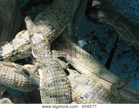 Crocodile Hatchlings 04