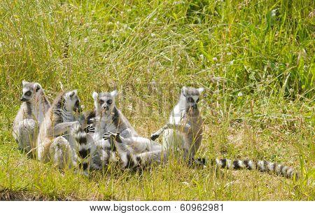 family of Ring-tailed Lemur's basking in the sun