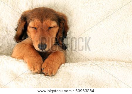 Longhair dachshund puppy asleep on a bed.