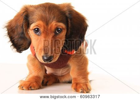 Longhair dachshund puppy, isolated on white.