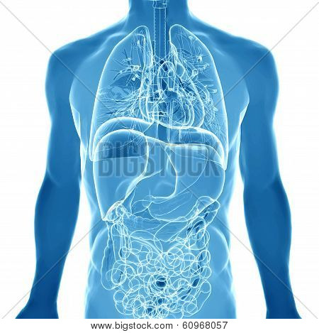 3D  Medical Illustration Of The Human Anatomy