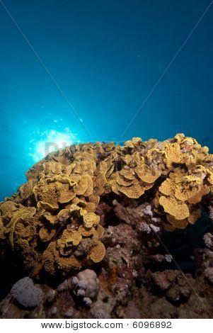 Leafy Cup Coral (turbinaria Reniformis)
