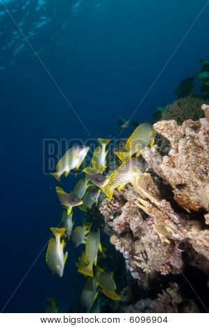 Blackspotted Sweetlips (plectorhinchus Gaterinus)