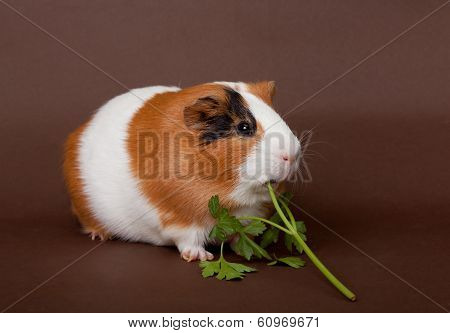 Guinea-pig Is Eating Verdure