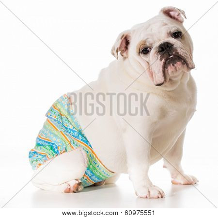 dog in heat or season wearing protective pants isolated on white background