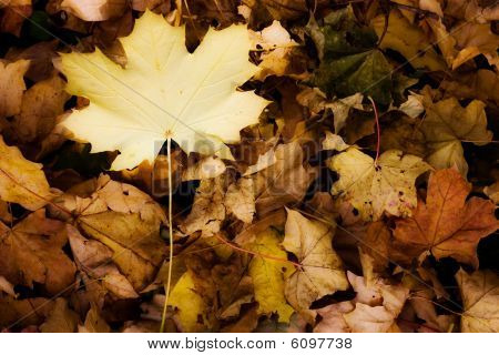 Yellow Autumn Leaves - Fall