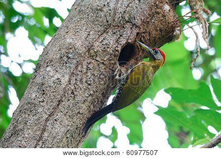 Male Bamboo Woodpecker (gecinulus Viridis)
