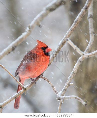 Cardinal, Cardinalis Cardinalis