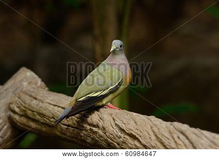 Male Pink-necked Green-pigeon (treron Vernans)