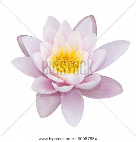 Lotus On White