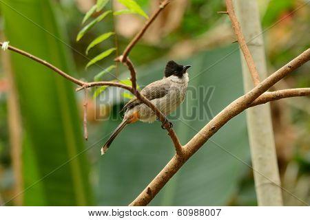 Sooty-headed Bulbul (pycnonotus Aurigaster)