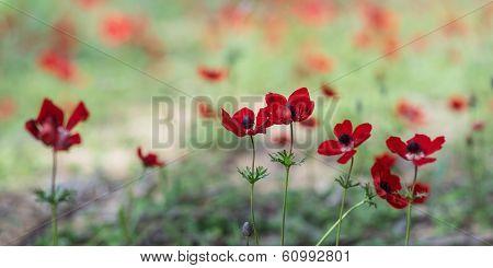 Blooming anemones field