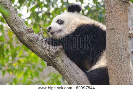Young Giant Panda Sleeping in a Tree