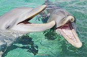 stock photo of dolphins  - Two bottlenose dolphins laughing mouths open - JPG