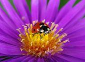 stock photo of ladybug  - Ladybug and flower on a green background - JPG