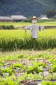 stock photo of andong  - Scarecrow on a rice field in Southkorea - JPG