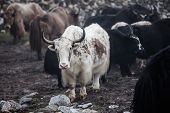 picture of yaks  - Himalayan Yaks In Herd, Nepal, tibet, mountain,