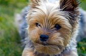 picture of yorkie  - The face of a Yorkie dog lying in the garden
