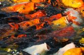 image of coy  - feeding fish in a coy pond at the national arboretum in washington - JPG