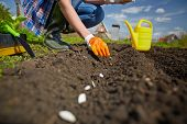 stock photo of single woman  - Image of female farmer sowing seed of squash in the garden - JPG