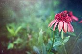 Orange coneflower with a vintage texture overlay